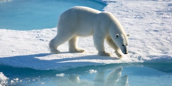 Das Bild zeigt einen Eisbären in der Arktis